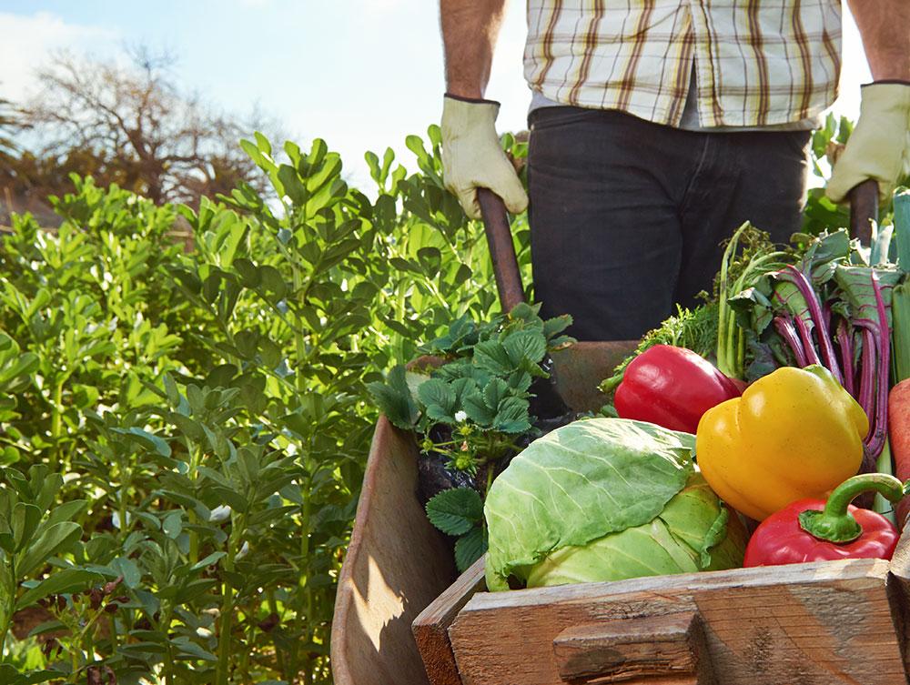 Farmer-harvesting-vegetables
